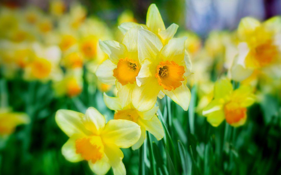Make like a daffodil – why renewal is key