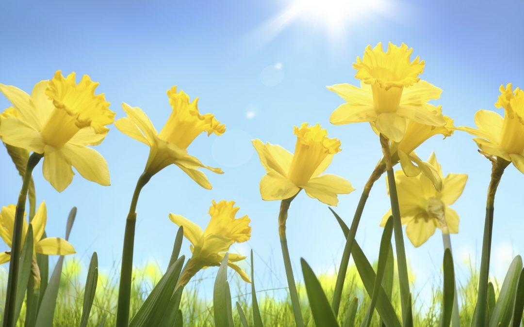 Be more daffodil – why renewal is key